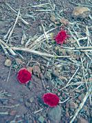 red velvet mite - stock photo
