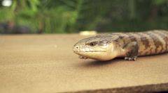 Blue tongued skink - stock footage