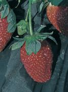Strawberry fruits, fragaria x ananassa Stock Photos
