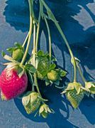 strawberry field - stock photo
