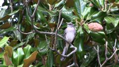 Mockingbird Perched in Magnolia Tree Stock Footage