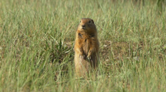 Ground Squirrel Standing Alert then Dashes Off Stock Footage