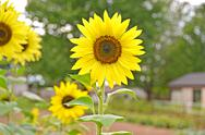 Stock Photo of summer sunflowers