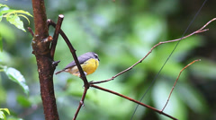 A Bananaquit (Coereba flaveola) in Costa Rica Stock Footage