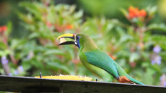 An Emerald Toucanet (Aulacorhynchus prasinus) at a feeding station in Costa Rica Stock Footage