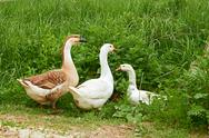 Stock Photo of two geese and goose on the meadow