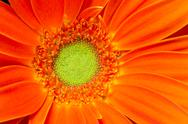 Stock Photo of gerbera flower orange yellow petals green carpels close up
