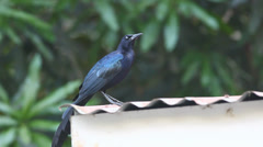 A Great-tailed Grackle (Quiscalus mexicanus) preens on a tin roof in Costa Rica. Stock Footage