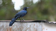 Stock Video Footage of A Great-tailed Grackle (Quiscalus mexicanus) preens on a tin roof in Costa Rica.