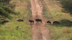 Young wildebeest trips and has a do over. Stock Footage