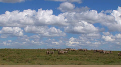 Zebras at the water edge with safari vehicles in the background Stock Footage