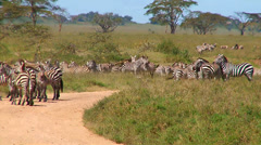 Zebras challenge each other Stock Footage