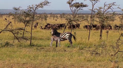 Zebra nursing with wildebeests in the background Stock Footage