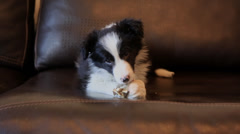 Border Collie pup gnaws a bone Stock Footage