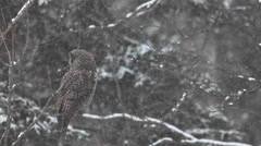 Stock Video Footage of A Great Gray Owl, Strix nebulosa, in a blizzard in Algonquin in Ontario
