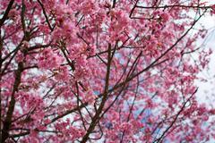 Wild Himalayan Cherry tree blossom Stock Photos