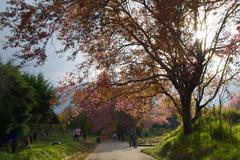 Wild Himalayan Cherry tree Stock Photos