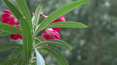 Red oleander flowers in the rain, exotic plant, summer day Stock Footage