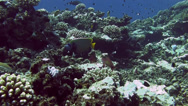 Stock Video Footage of Emperor Angelfish Wide Egypt Red Sea