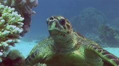 Eating sea Turtle Coral Egypt Red Sea - stock footage