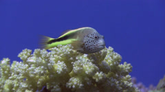 Freckled Hawkfish Egypt Red Sea Stock Footage
