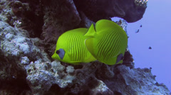 Masked Butterfly fish Egypt Red Sea Stock Footage
