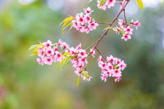 Stock Photo of wild himalayan cherry spring blossom