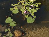 Stock Photo of Goldfish and water lily in pond