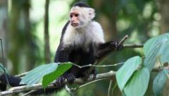 Wild White-faced Capuchin peers at something below - stock footage