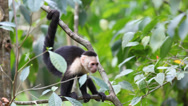 Stock Video Footage of Wild White-faced Capuchin becoming agitated