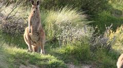 Kangaroo - Australian Wildlife Stock Footage