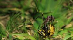 European  Wasy Vs Bull Ant 3 Stock Footage