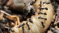 Ants vs Beetle grub 5 - stock footage