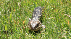 Blue Tounge Lizard Australia 2 Stock Footage