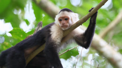 Stock Video Footage of Wild White-faced Capuchin (Cebus capucinus) monkey relaxing