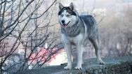 Stock Photo of siberian husky