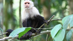 Stock Video Footage of Wild White-faced Capuchin (Cebus capucinus) monkey looks about him