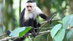 Stock Video Footage of Wild White-faced Capuchin (Cebus capucinus) monkey preening