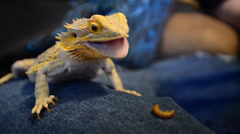 Bearded Dragon eating a piece of apple Stock Footage