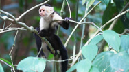 Stock Video Footage of Wild White-faced Capuchin (Cebus capucinus) monkey peers about.