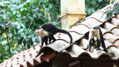 Pair of Wild White-faced Capuchins monkey interact - stock footage