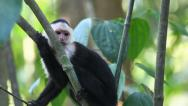 Stock Video Footage of A relaxed Wild White-faced Capuchin (Cebus capucinus)