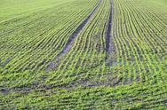 Green rows at a springtime field Stock Photos