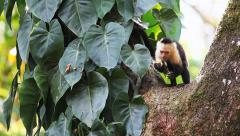 Stock Video Footage of Wild White-faced Capuchin (Cebus capucinus) monkey eating fruit