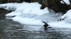 White-Throated Dipper on a rock in river diving catching food Stock Footage