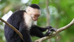 Stock Video Footage of Wild White-faced Capuchin (Cebus capucinus) relaxs and grooms