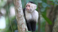 Stock Video Footage of Wild White-faced Capuchin (Cebus capucinus) watches for danger