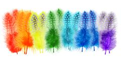 Guinea fowl feathers are painted in bright colors of the rainbow on a white b Stock Photos