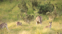 Kangaroo Troop - Australian Wildlife Stock Footage