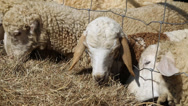 Stock Video Footage of Sheeps eating hay in the farm
